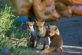 La caccia alla volpe continua in città (da 'Il Messaggero' dell'11febbraio)